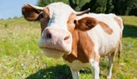 Resulta que las vacas aprenden a ir al baño, y lo pueden hacer en un par de semanas