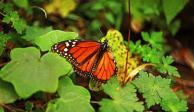 Mariposas Monarca emprenden vuelo de vuelta a EU