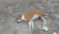 Denuncian envenenamiento masivo de perros y gatos en Chiapas