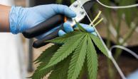 Frenan debate; AMLO rechaza cannabis lúdica