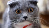 Conoce a Dimka, la gatita que volvió a caminar gracias a prótesis intraóseas