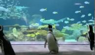 Pingüinos aprovechan cuarentena para pasear por acuario de Chicago (VIDEOS)