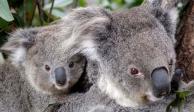 Koala es captado bebiendo agua en carretera de Australia