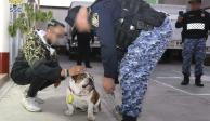 En operativo sin precedente, FGJ  rescata a Emilio, bulldog robado