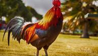 Hombre muere tras ser atacado por su gallo en pelea clandestina