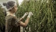 Cannabis, una industria que puede generar hasta 5 mil mdd en México