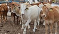 Senasica y legisladores acuerdan reunión por ganado ilegal procedente de Centroamérica
