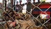 Encuentran 7 tigres congelados en auto en Vietnam