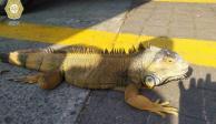 Detienen a joven por pasear a su iguana en Metro Centro Médico