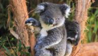 "Los koalas están ""funcionalmente extintos"" en Australia, alerta ONG"
