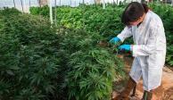 En regulación de mariguana hay más interés económico que otro: Cofepris