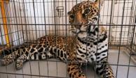 Jaguar atacó a albañil mientras trabajaba en una casa en Chihuahua
