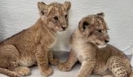 FOTOS: En operativo rescatan a dos leones en Chalco y detienen a homicidas