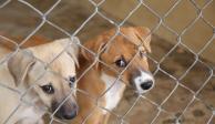 Buscan liberar a más de 30 perros de laboratorio