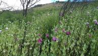 VIDEO: Encuentran y destruyen plantío de tres hectáreas de amapola