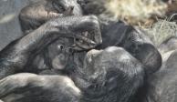 Empatía y celos, emociones que los primates comparten con los humanos