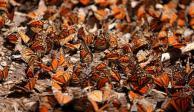 Abundante, la población de mariposa Monarca en Michoacán