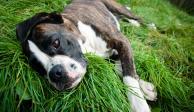 Rescatan a perros pitbull que sufrían maltrato en Álvaro Obregón