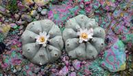Vendían peyote en mercado de San Miguel de Allende