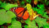 Con ustedes, su majestad... la Mariposa Monarca