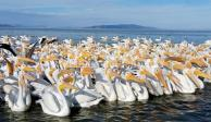 Cautiva Michoacán con migración de pelícanos