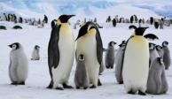 Pingüinos emperadores mueren ahogados por cambio climático