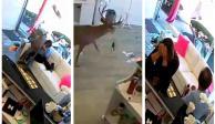 VIDEO: Venado irrumpe en peluquería y sus destrozos rompen las redes