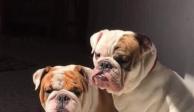 Con pistola en mano, roban dos perros Bulldog Inglés en Iztacalco