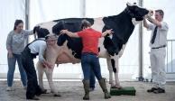 VIDEO: La vaca más grande del mundo se salva del matadero