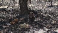 Rescatan a cría de oso en peligro de extinción de incendio forestal