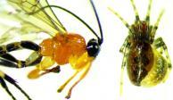 """Descubren avispa que convierte a arañas en """"zombies"""""""