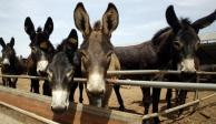 Roban burros en África para satisfacer demanda china