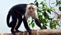 "Mono capuchino sube de peso y ya hasta tiene ""novia"""