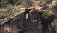 VIDEO: Durante cacería, 12 perros y un ciervo caen en barranco