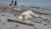 Matan a tiros a oso polar tras atacar a guardián de crucero en Noruega