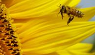 Día a día se reduce la población de abejas en México