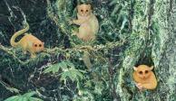 Identifican tres especies de primates extintos desconocidos para la ciencia