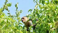 Mono capuchino suelto en Reforma moviliza a bomberos y policías