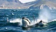 Orcas Guaymas