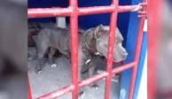 Pitbull encarcelado