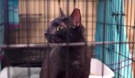 Gato negro Binx
