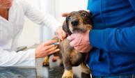 vacuna perros y gatos covid-19