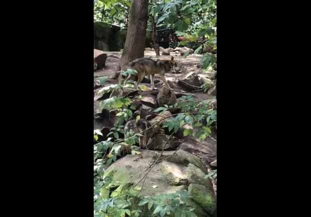 Cachorros de lobo mexicano del Zoológico de Chapultepec