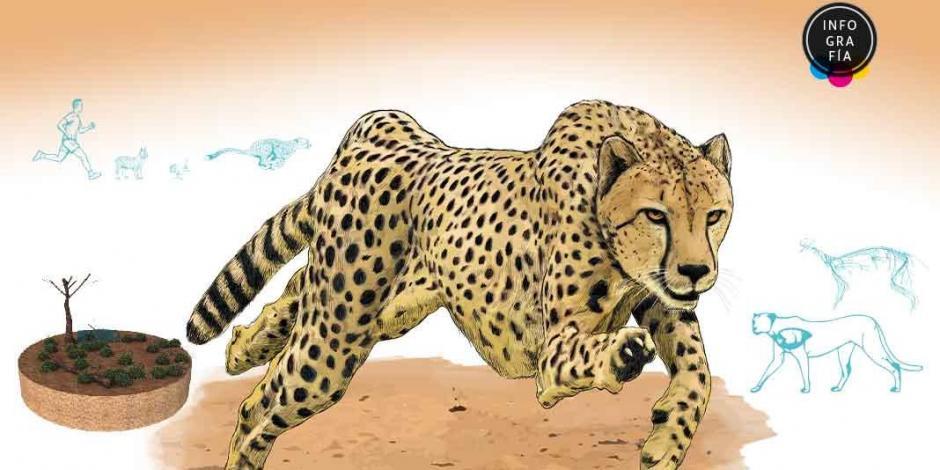 Guepardo del Sahara