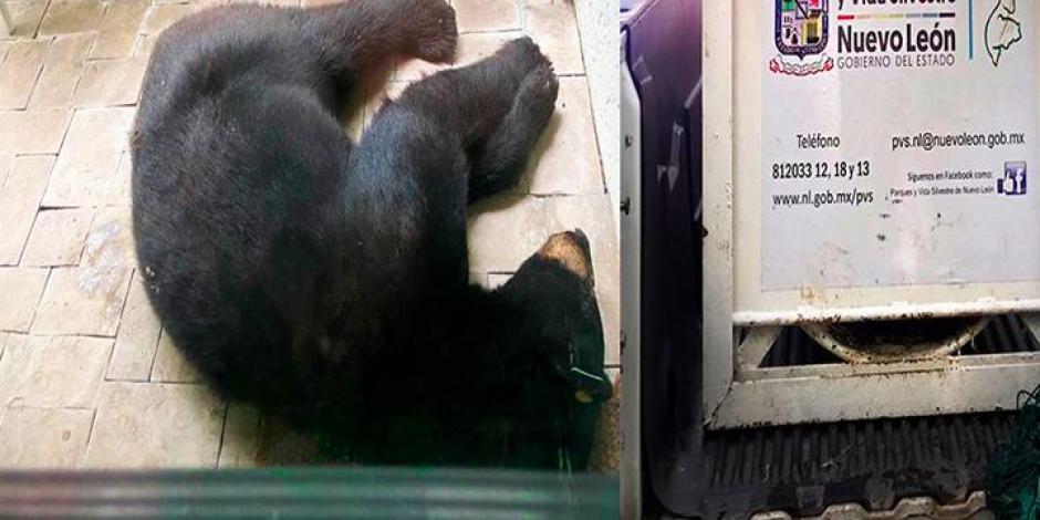 Investigan castración de oso en NL