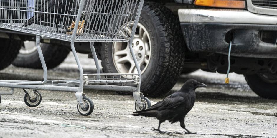 Cuervos roban comida