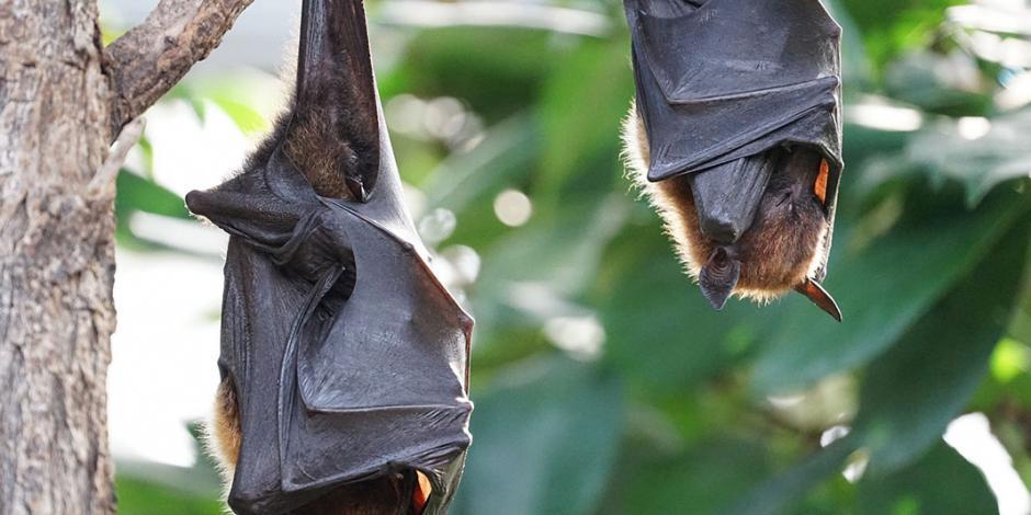 OMS sostiene que el COVID-19 se originó en los murciélagos