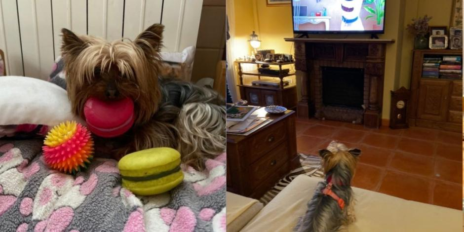 #LomitosEnCuarentena: Así se divierten los perros en casa con sus dueños (FOTOS y VIDEOS)