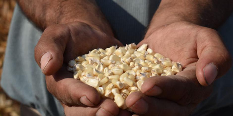 SFP: sin localizar, 96 mil sacos de programa de semillas de Sader