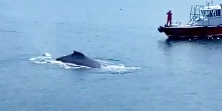 Captan a ballenas jorobadas jugando en muelle de Manzanillo (VIDEO)